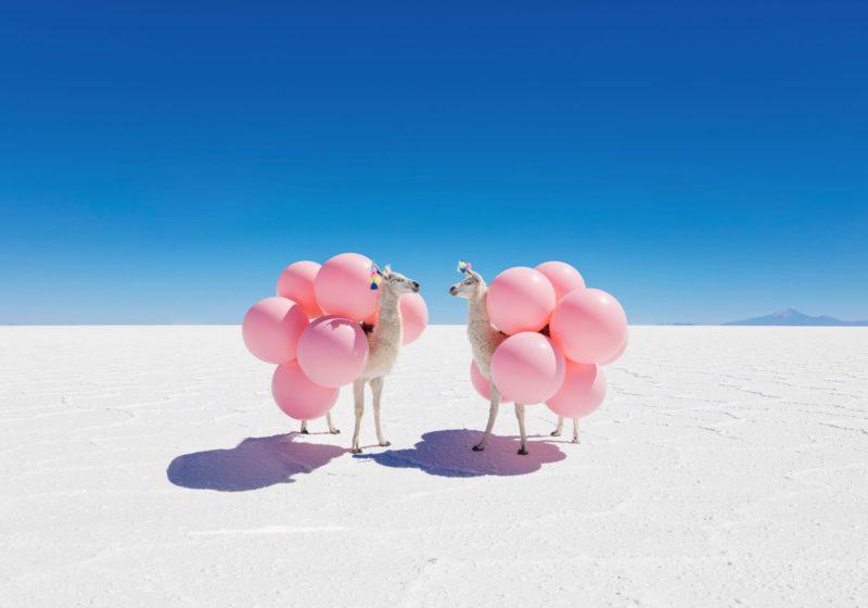 Two Llamas with Pink Balloons shot by Gray Malin